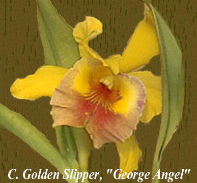 Golden Slipper George's Angel